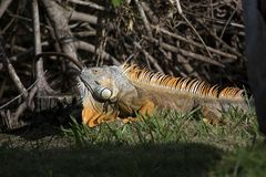 Large Adult Green Iguana in south Florida with Orange Coloring and Large Dewlap. This large adult iguana is a possible male with orange coloring, ltall spines stock photo