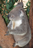 Large adult koala Royalty Free Stock Image