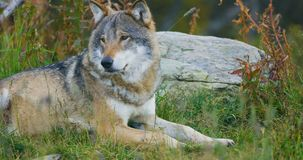 Large adult male grey wolf rests in the forest