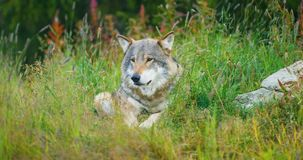 Large adult male grey wolf rests in the forest stock video footage