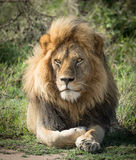 Large adult male Lion, Serengeti, Tanzania Royalty Free Stock Image
