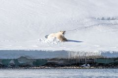 Large adult male polar bear emerges from his snow bed. In Svalbard,  a Norwegian archipelago between mainland Norway and the North Pole stock photography