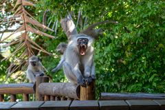 Large adult male vervet monkey yawning and showing teeth. royalty free stock images