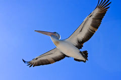 Large adult pelican in flight Royalty Free Stock Images