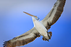 Large adult pelican in flight Stock Photography