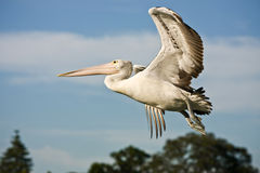 Large adult pelican in full flight. Adult Australian pelican in full flight with spread wings Royalty Free Stock Photography