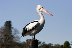 Large adult pelican standing on timber post Stock Image