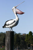 Large adult pelican with wide open bill. Royalty Free Stock Image