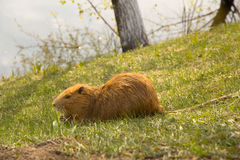 Large adult red-haired nutria Stock Photography