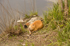 Large adult red-haired nutria Royalty Free Stock Photos