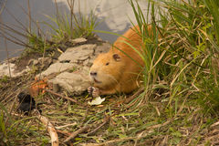 Large adult red-haired nutria Royalty Free Stock Image
