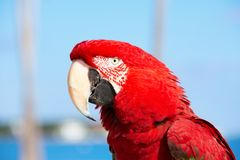 Large adult Scarlet Macaw bird portrait closeup royalty free stock photo