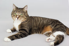 Large adult tabby cat  on grey Stock Photography