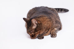 Large adult tabby cat laying on side. Isolated on white backgrou Royalty Free Stock Images
