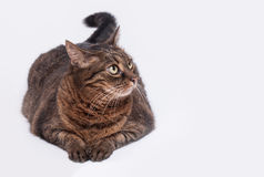 Large adult tabby cat laying on side. Isolated on white backgrou Stock Photos