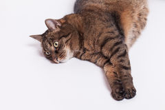 Large adult tabby cat laying on side. Isolated on white backgrou Royalty Free Stock Photo