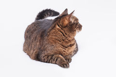Large adult tabby cat laying on side. Isolated on white backgrou Stock Image