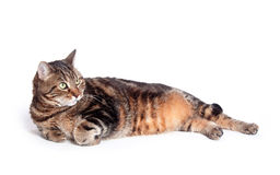 Large adult tabby cat on white Stock Photo