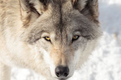 Large adult timer wolf Royalty Free Stock Images