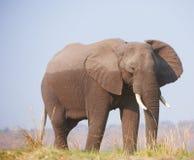 Large African elephant Royalty Free Stock Photos