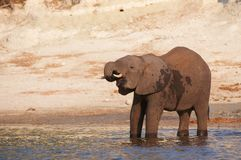 Large African elephant Royalty Free Stock Photos