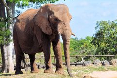 Large African elephant Stock Photos