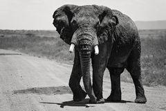 A large African Elephant alone along the road in the Maasai Mara Kenya, Africa. African Elephant alone along the road in the Maasai Mara Kenya, Africa stock photo