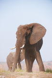 Large African elephant bull Stock Photo