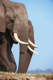 Large African elephant bull Royalty Free Stock Image