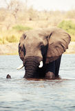 Large African elephant bull Stock Photos