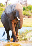 Large African elephant bull Royalty Free Stock Photo