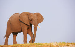 Large African elephant bull Royalty Free Stock Photos