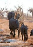 Large African elephant bull Stock Image