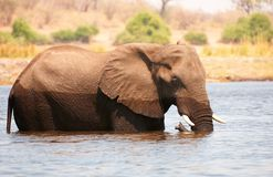 Large African elephant bull Royalty Free Stock Photography