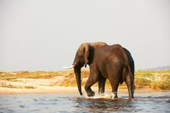 Large African elephant bull Stock Photography