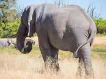 Large African elephant bull grazing on saavannah grass, safari in Moremi NP, Botswana Stock Image