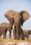 Large African elephant bull in a herd Royalty Free Stock Photography
