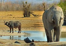 Large African Elephant with a Cape Buffalo in the background at a waterhole in Hwange National Park, Zimbabwe. African Elephant infront of a waterhole, with a royalty free stock image