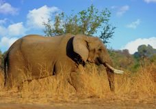 Large African elephant in the dried yellow grass with a vibrant blue cloudy sky in South luangwa National Park. Large African Elephant walking through the dry Royalty Free Stock Photography