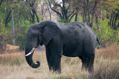 Large African Elephant. Elephant in game reserve of Botswana Stock Photography