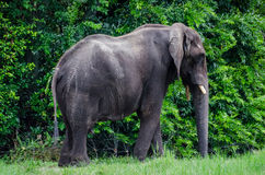 Large African Elephant Stock Images