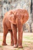 Large African elephant (Loxodonta africana) Stock Images