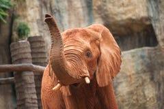 Large African elephant (Loxodonta africana) Royalty Free Stock Photo