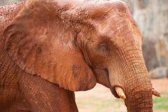 Large African elephant (Loxodonta africana) Stock Image