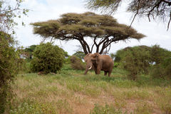 Large African elephant in a national park. Stock Photos