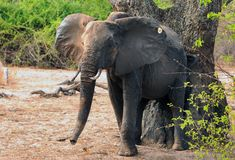 African elephant scratching against a tree with a look of contentment in south luangwa national park, zambia. Large African Elephant rubbing it`s body against a royalty free stock images