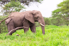 Large African Elephant in the Serengeti. A large African elephant walking through the Serengeti Stock Image