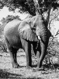 Large african elephant Stock Photos
