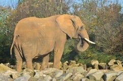 Large African elephant Royalty Free Stock Image
