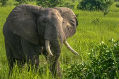 African elephant grazing in Tanzania. Large African elephant with tusks grazing in Mikumi National Park, Tanzania royalty free stock photography